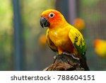 beautiful colorful sun conure... | Shutterstock . vector #788604151