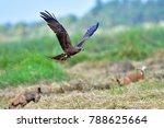 black kite bird  milvus migrans ...   Shutterstock . vector #788625664