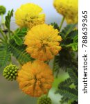 Small photo of Flowers. Acacia Nilotica. Babhul. Family: Mimosaceae. Medium-sized thorny tree Leaves are fodder for goats and camels