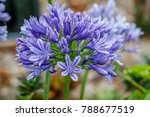 Small photo of Blooming Agapanthus, or Lily of the Nile. Queensland, Australia. Close up.