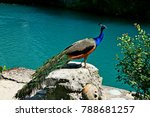 Peacock Or Peafowl. Indian Wild ...