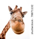 Stock photo close up of a funny giraffe on a white background 78871132