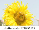 sunflower and bee | Shutterstock . vector #788751199