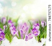 Spring Crocuses Flowers Under...