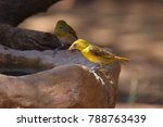 Small photo of Holub's golden weaver (Ploceus xanthops), also called the African golden weaver sitting at the water.