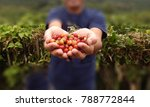 close up red berries coffee... | Shutterstock . vector #788772844