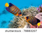 Regal Angelfish In The Red Sea...