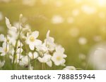 beautiful sunny white anemona... | Shutterstock . vector #788855944