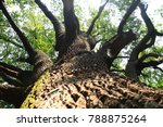 very old oak tree as nice... | Shutterstock . vector #788875264