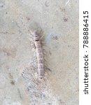 a dusty caterpillar is creeping ...   Shutterstock . vector #788886415