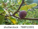 Ripen Fig On Fig Tree In Croatia