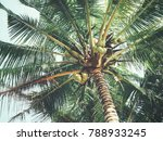 coconut tropical palm tree | Shutterstock . vector #788933245