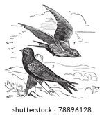 Common Swift Or Apus Apus ...