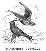 common swift or apus apus ... | Shutterstock .eps vector #78896128