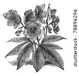 black hellebore or christmas... | Shutterstock .eps vector #78896296