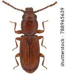 cryptolestes pusillus is a... | Shutterstock . vector #788965639