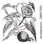exogonium purga or ipomoea... | Shutterstock .eps vector #78897391