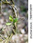 Small photo of Kamperfoelie (Lonicera), Honeysuckles