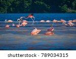 pink flamingos  phoenicopterus... | Shutterstock . vector #789034315