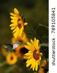 ruby throated hummingbird i... | Shutterstock . vector #789105841