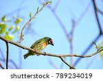 Small photo of A single coppersmith bird sitting on the tree branch top view and watching to the ground, green nature at the tropical park and blue sky
