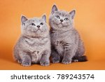 Stock photo two fluffy gray british kitten on an orange background 789243574