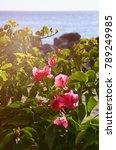 Pink Bougainvillea Flowers On ...