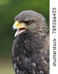 young harris's hawk or harris... | Shutterstock . vector #789266455