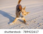Dingo On The Beach In Great...