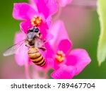 honey bee in the petals of... | Shutterstock . vector #789467704