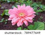 fresh pink gerbera flower with...   Shutterstock . vector #789477649