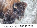 American Bison Or Buffalo...