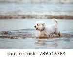 white maltese dog running in... | Shutterstock . vector #789516784