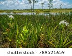 swamp lily  crinum lily ...   Shutterstock . vector #789521659