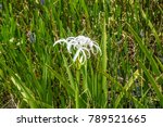 swamp lily  crinum lily ...   Shutterstock . vector #789521665