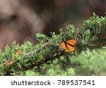 Monarch Butterfly In A Pine...