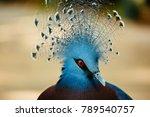 Victoria Crowned Pigeon Up...