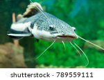 Red Tailed Catfish In The...