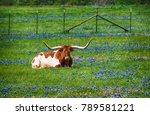 texas longhorn cattle in...   Shutterstock . vector #789581221