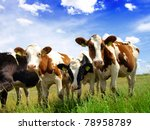 Calves on the field - stock photo