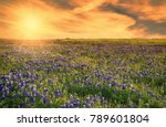 texas bluebonnet field blooming ... | Shutterstock . vector #789601804