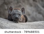 Small photo of A horizontal, colour image of a tiny black spotted hyena pup, Crocuta crocuta, staring at the camera from the mouth of its sandy den in the Sabi Sands, South Africa.