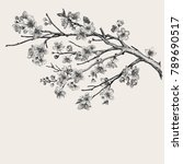 Sakura. Cherry Blossom Branch....
