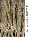 Closeup Of Banyan Tree Roots...