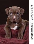 cute american pit bull terrier... | Shutterstock . vector #789786475