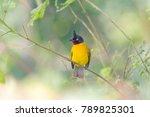 beautiful bird  black crested...   Shutterstock . vector #789825301