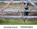 portrait of australian cattle... | Shutterstock . vector #789890881