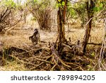 large male baboon with young... | Shutterstock . vector #789894205