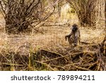 large male baboon with young... | Shutterstock . vector #789894211