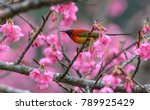 Small photo of Mrs. Gould's Sunbird or Aethopyga gouldiae, beautiful red bird perching on branch with pink flower in nature, Wild Himalayan Cherry.